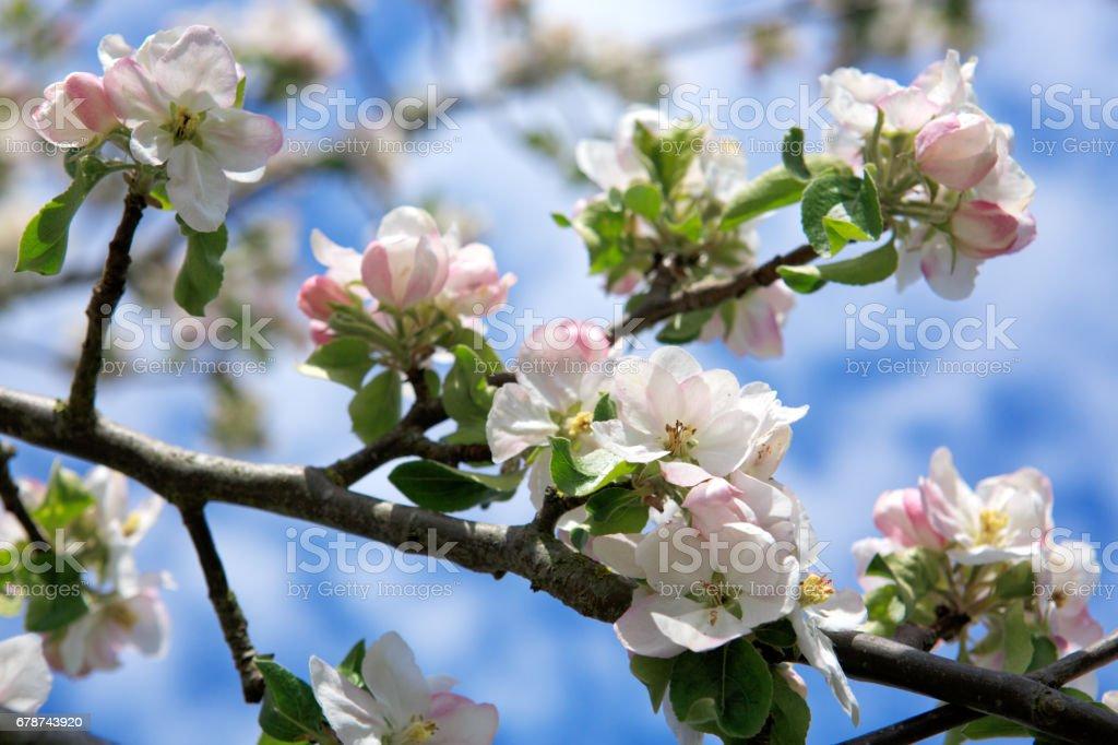 Çiçeği ağaç dalları ile gökyüzü arka plan royalty-free stock photo