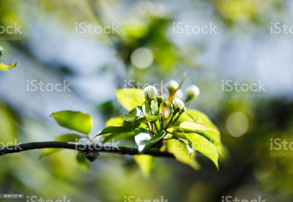 花樹鮮花特寫照片,清晨的陽光 免版稅 stock photo