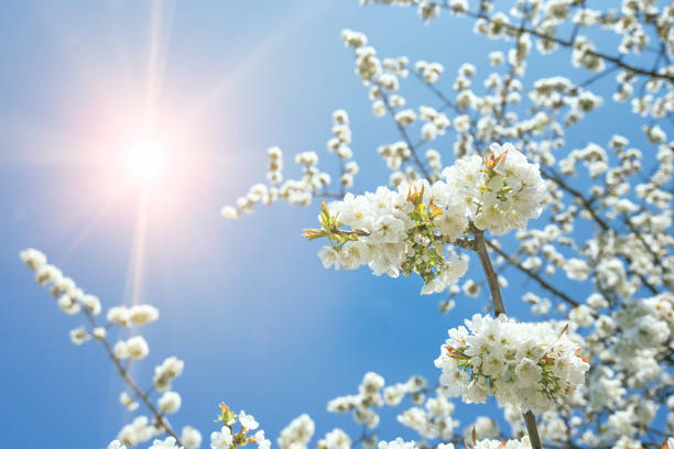 blossom tree in springtime with sun stock photo