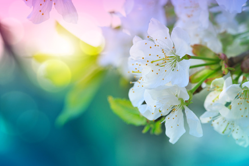 Blossom tree over green nature background. Spring background.