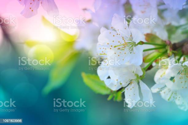 Photo of Blossom tree over green nature background. Spring background.