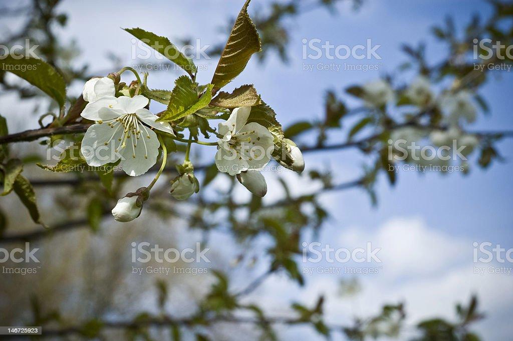 Blossom Tree royalty-free stock photo
