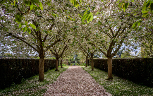 Blossom Tree walkway in Spring