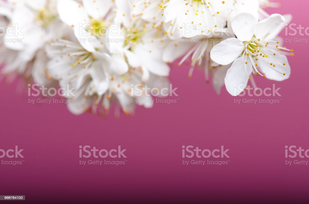 Blossom trees and flowers. Beautiful spring nature view on a violet background. Trees. Concept of spring and summer seasons. Detail of white flowers foto stock royalty-free