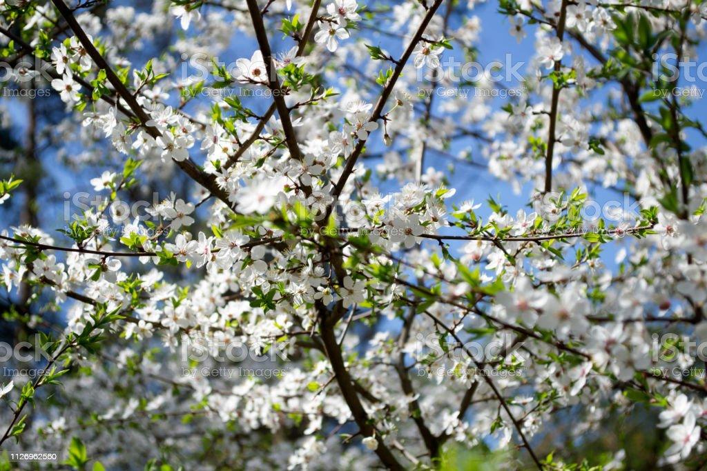 Blossom trees at spring close up. Seasonal blooming of trees.