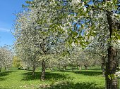 Blossom view in cherry orchard with dandelion in forground