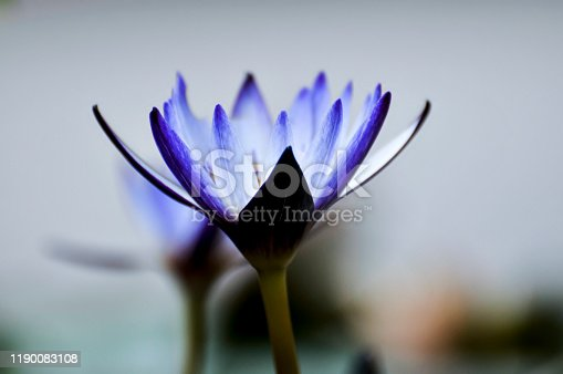 Blossom waterlily flowers