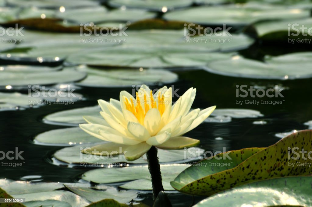 Fleurs de fleur nénuphar photo libre de droits