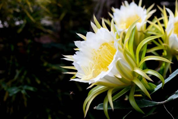 Blüte weißen Drachen Frucht blume und Bienen auf Kletterer Pflanzen floralen Natur Hintergrund – Foto