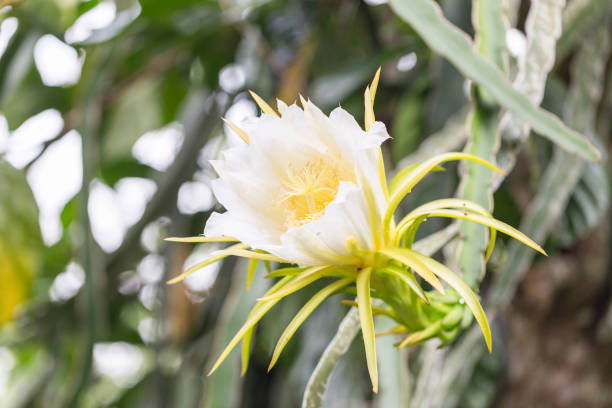 Royalty free dragon flower pictures images and stock photos istock blossom white dragon fruit flower stock photo mightylinksfo