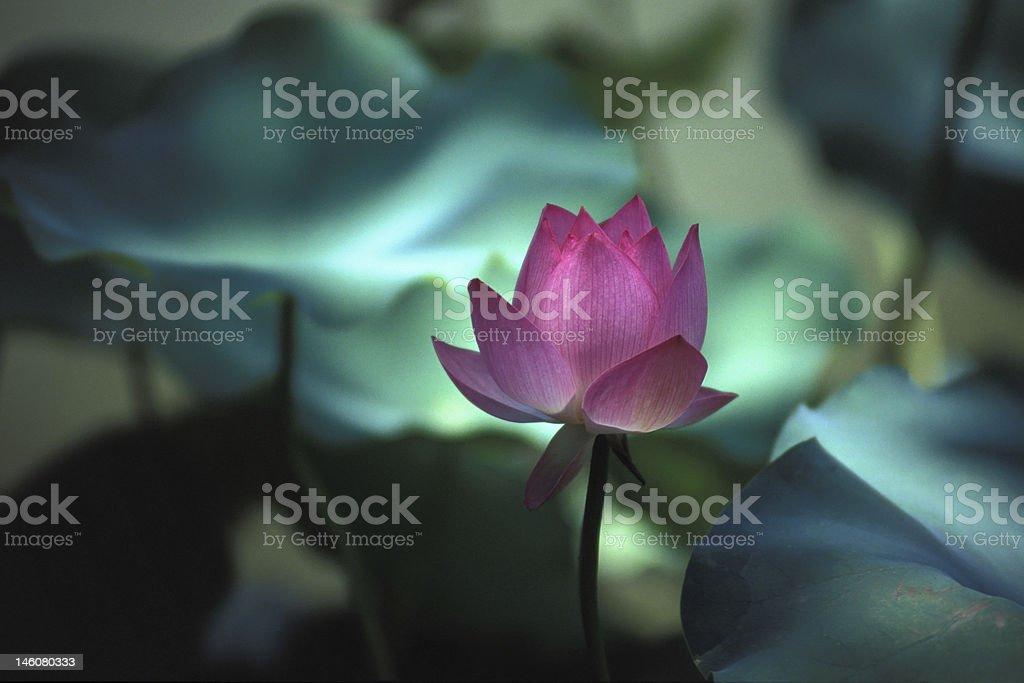 Blühte Lotus - Lizenzfrei Blatt - Pflanzenbestandteile Stock-Foto