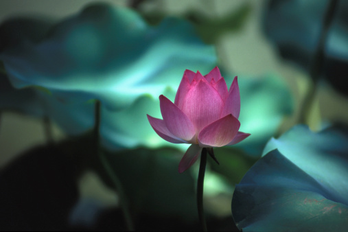 Blühte Lotus Stockfoto und mehr Bilder von Blatt - Pflanzenbestandteile