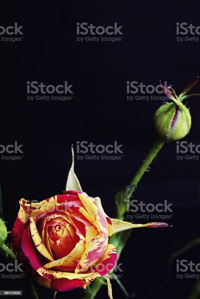 blossomed rose with green rosebud button royalty-free stock photo