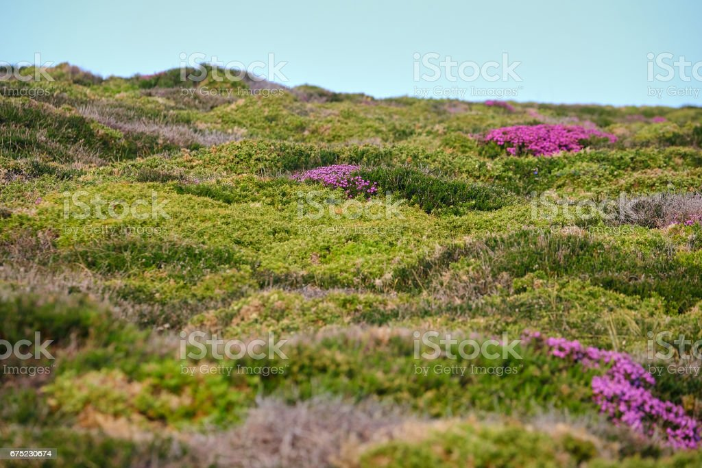 Blossomed sea bushes royalty-free stock photo