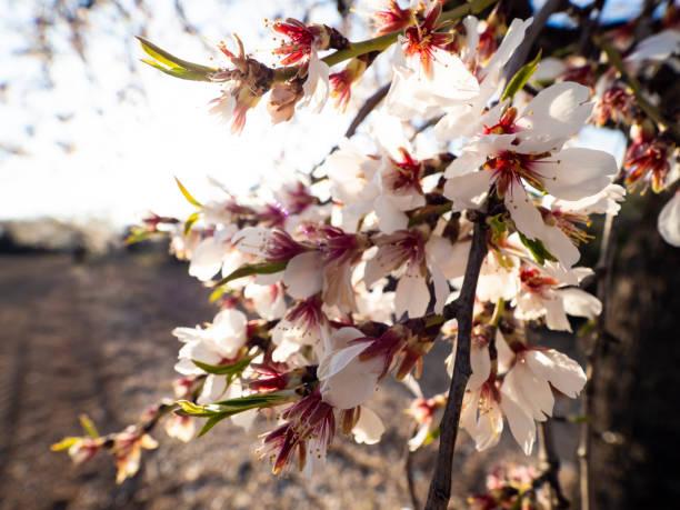 Blossomed tree branch in the field picture id1299642400?b=1&k=6&m=1299642400&s=612x612&w=0&h=cfrfgcqklqimg4udauptnz1w2gobcqx8mv36xwcjdna=