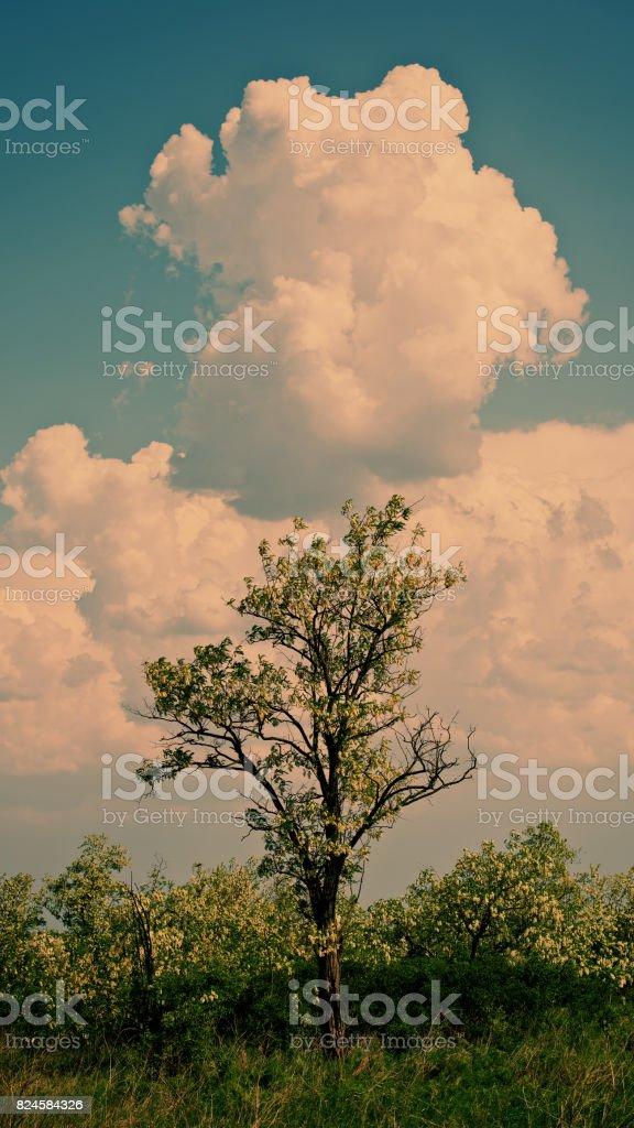 Blossoming acacia trees stock photo