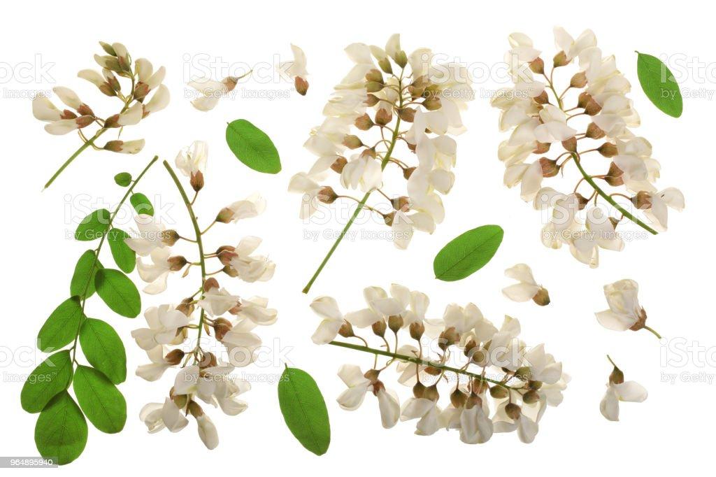 Blossoming acacia with leafs isolated on white background, Acacia flowers, Robinia pseudoacacia . White acacia royalty-free stock photo
