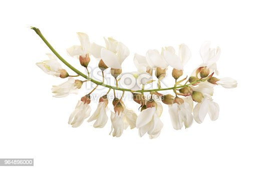 Blossoming Acacia With Leafs Isolated On White Background Acacia Flowers Robinia Pseudoacacia White Acacia Stock Photo & More Pictures of Acacia Tree