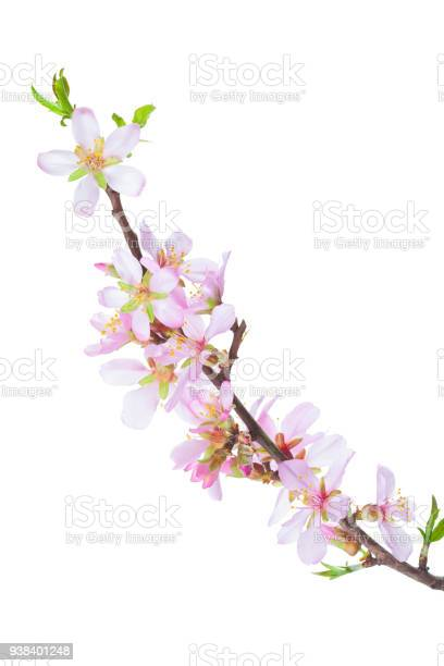 Blossoming almond branch isolated on white background picture id938401248?b=1&k=6&m=938401248&s=612x612&h=i2ksv jjenoujdc7vrnba81wvdexns 0kpn3kb fuja=