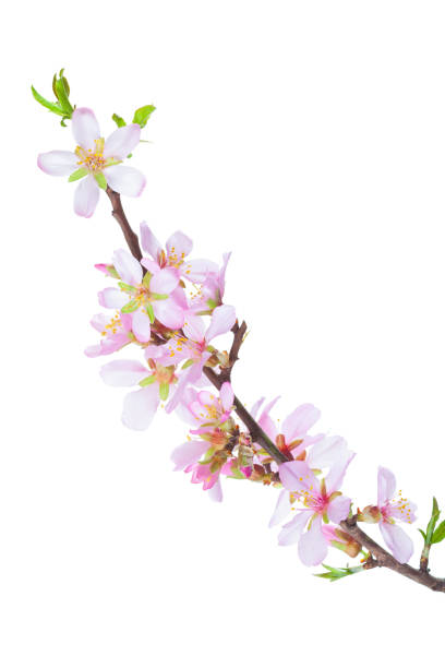 Blossoming Almond branch isolated on white background stock photo