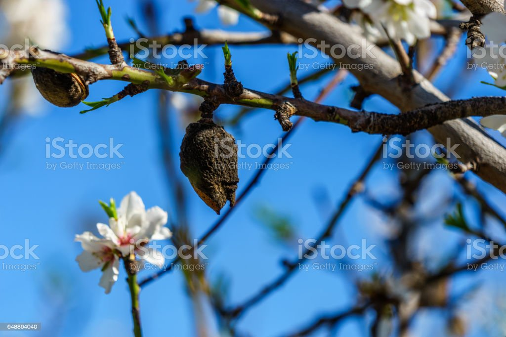 blossoming almond trees on a sunny field stock photo