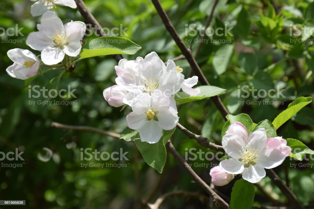 Blossoming apple closeup. Delicate herb, fragile flowers of apple. royalty-free stock photo