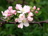 Blossoming apple, flowering apple. Close up. Spring solar background, photo wallpaper. Soft focus, toning