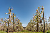 White blossoming apple orchard in spring. Germany, Europe. Beauty world