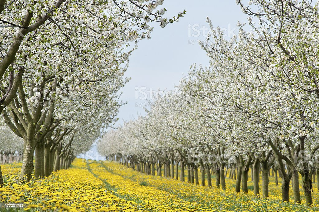 Blossoming apple orchard royalty-free stock photo