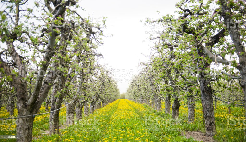 blossoming apple orchard with dandelions, spring concept stock photo