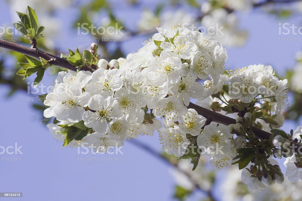 Blossoming apple royalty-free stock photo