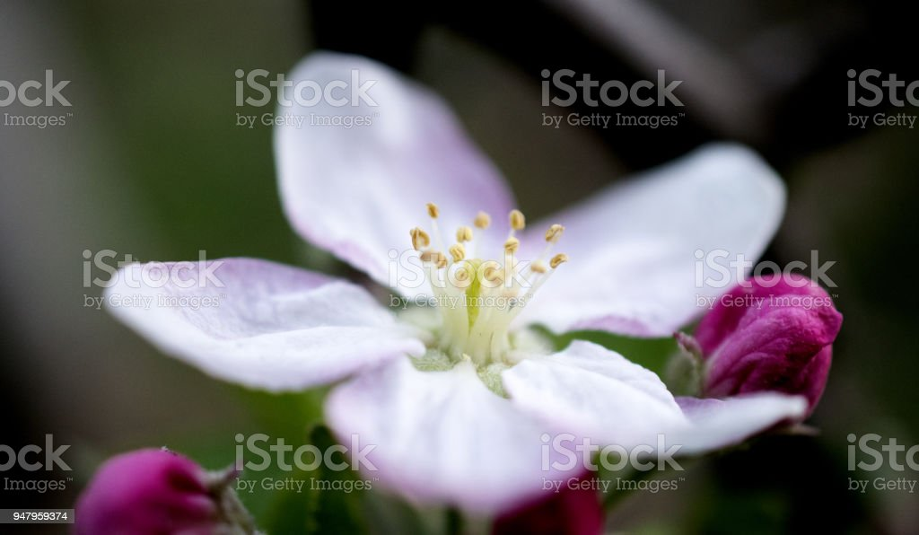 Blossoming apple tree branch in an orchard stock photo