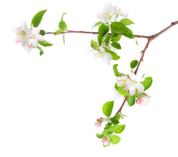 Blossoming apple tree branch isolated on white background picture id902271942?b=1&k=6&m=902271942&s=612x612&w=0&h=rxuj1fh7 yr58iufce0a48udhkqslvnzkj3vq vidfu=