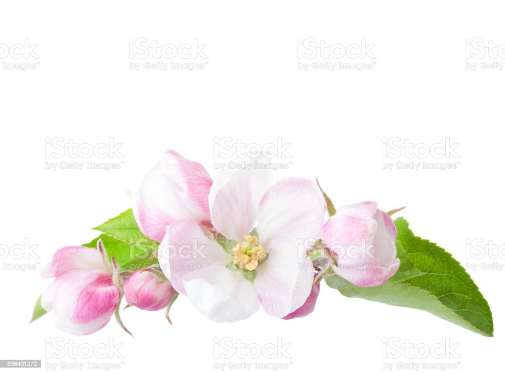 꽃 사과 나무 가지 흰색 배경에 고립 스톡 사진