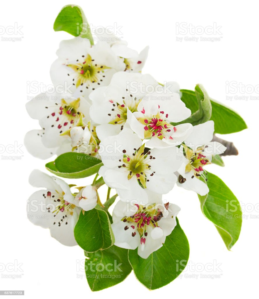 Blossoming Apple tree Flowers stock photo