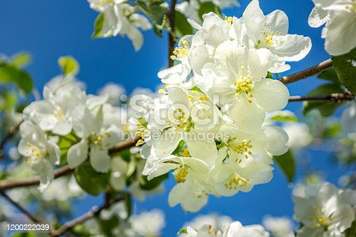 Close-up view of a branch of blossoming apple tree at springtime.