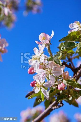 Blossoming apple tree in spring. Apple blossom, apple tree in garden