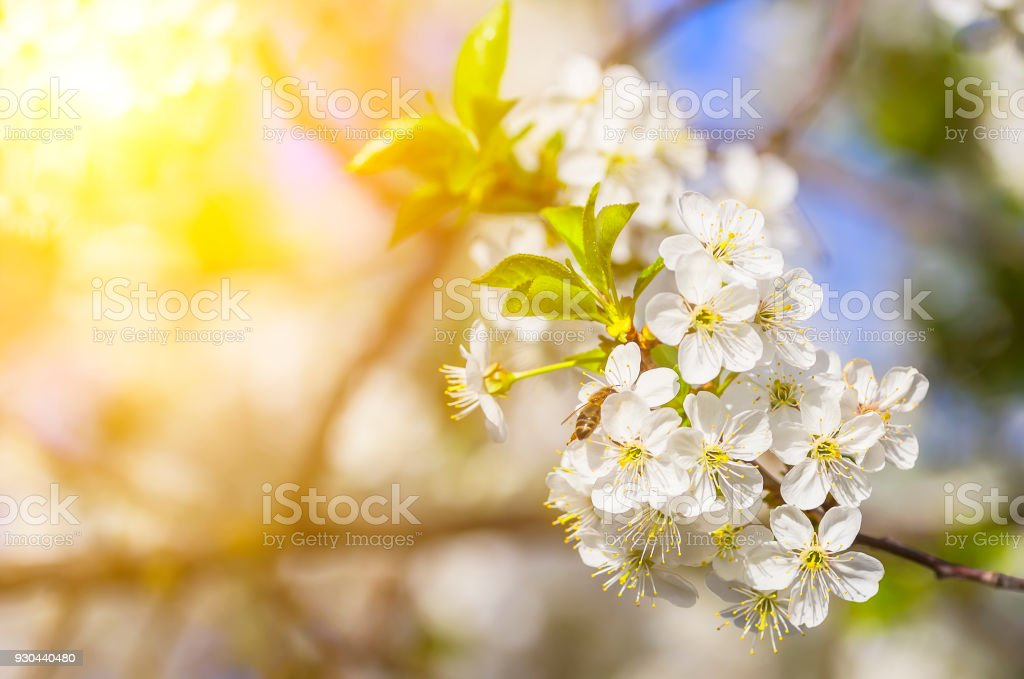 Blossoming apple tree in the sun. A bee pollinates the flowers of an...