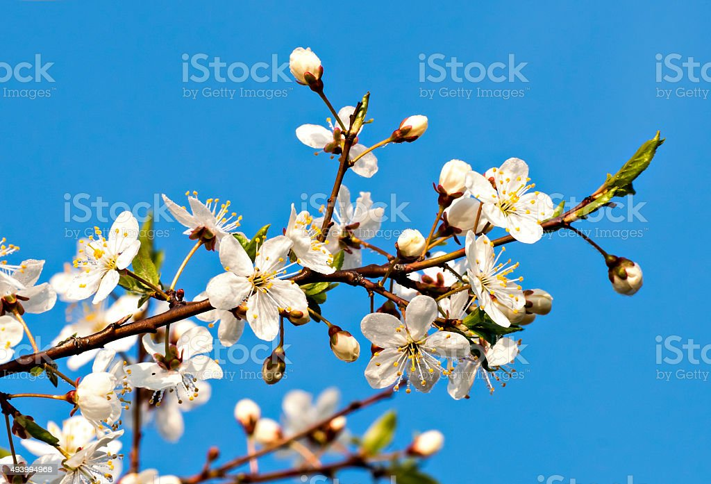 Blossoming  apple tree isolated on blue background stock photo