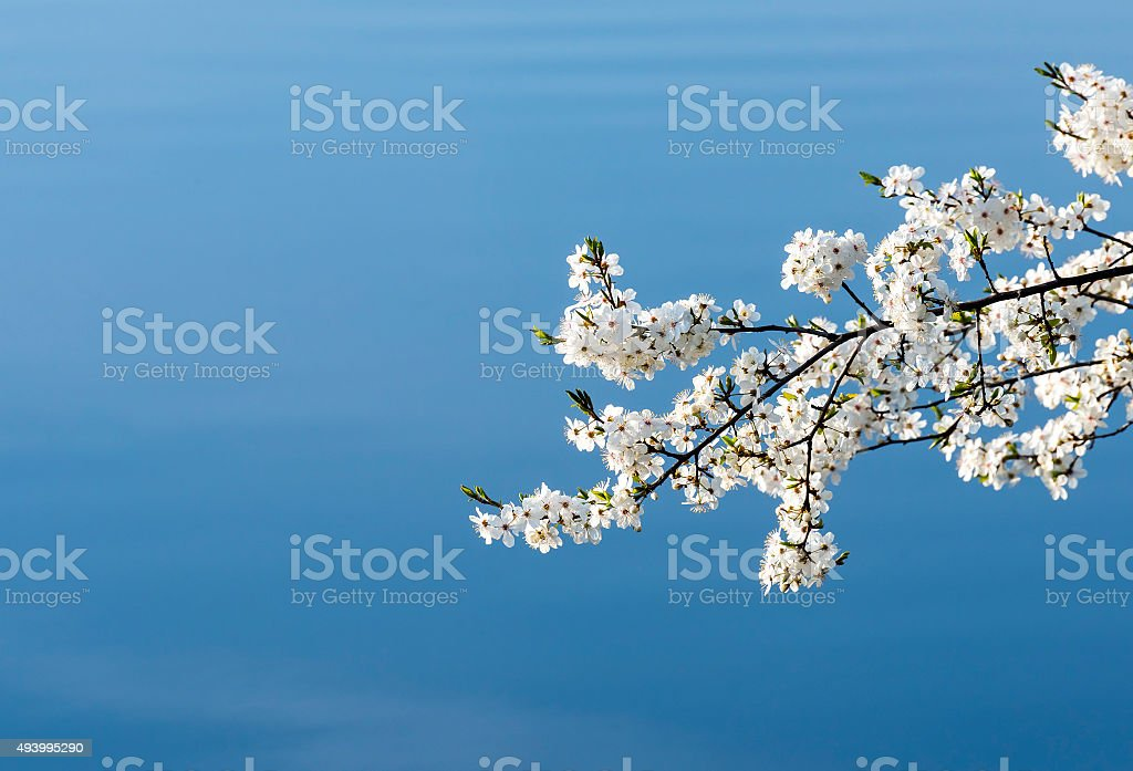 Blossoming  apple tree on the blue sky stock photo