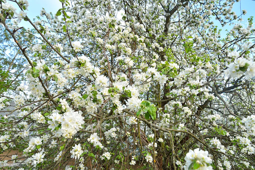 Blossoming apple tree. royalty-free stock photo