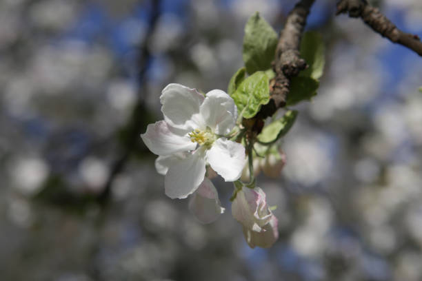 Blühenden Apfelbaum – Foto