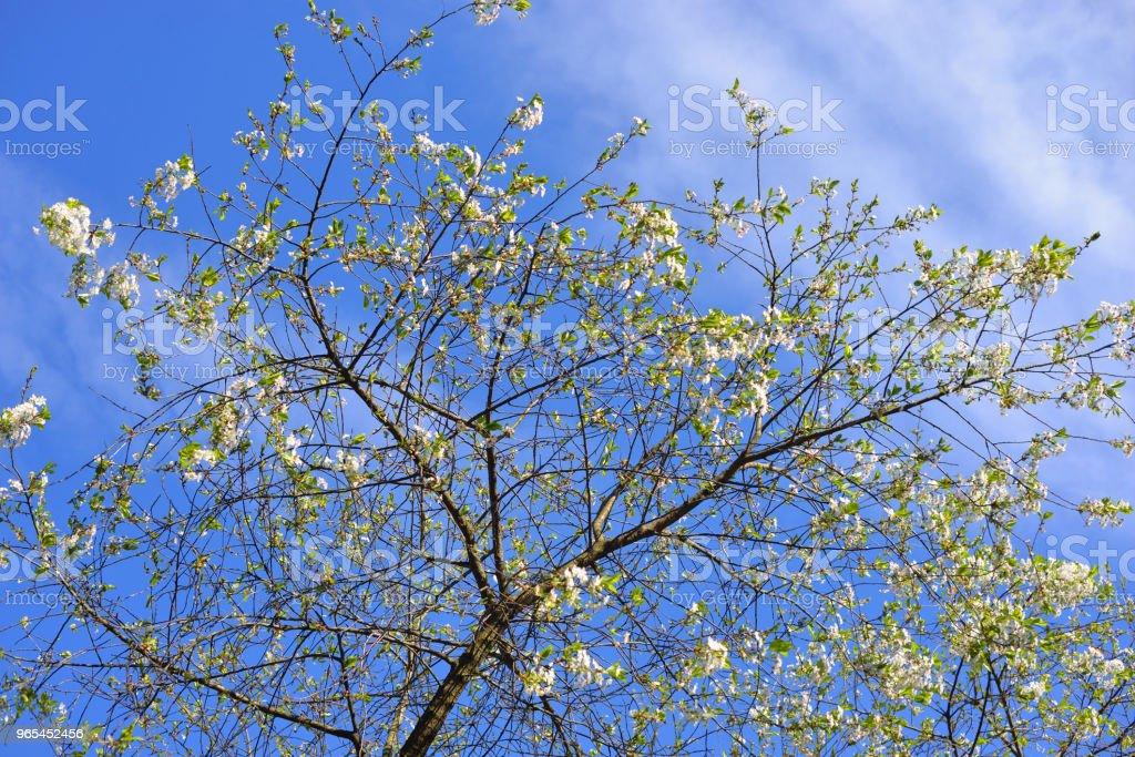 En fleurs apple tree. - Photo de Arbre libre de droits