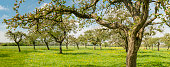Rows of old apple trees in an orchard with white blossom in spring. Panorama image.