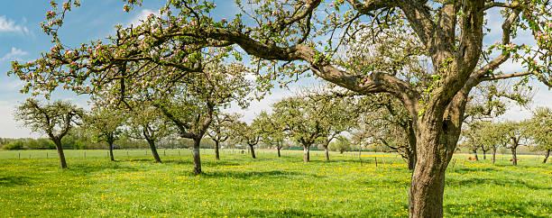 Blühenden Apfel Bäume im einem Obstanbaugebiet – Foto