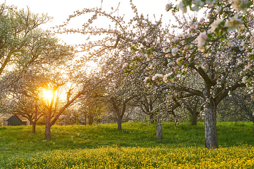Photo of blossoming apple trees in an orchard. Photo was taken in the evening light in spring.