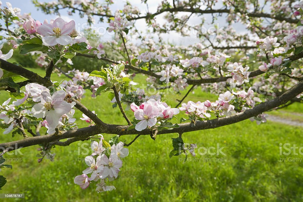 Blossoming Apple Trees royalty-free stock photo