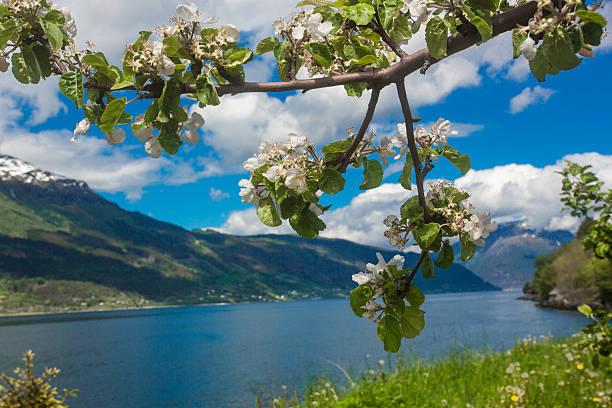 Blühenden Äpfel orchard von Lofthus – Foto