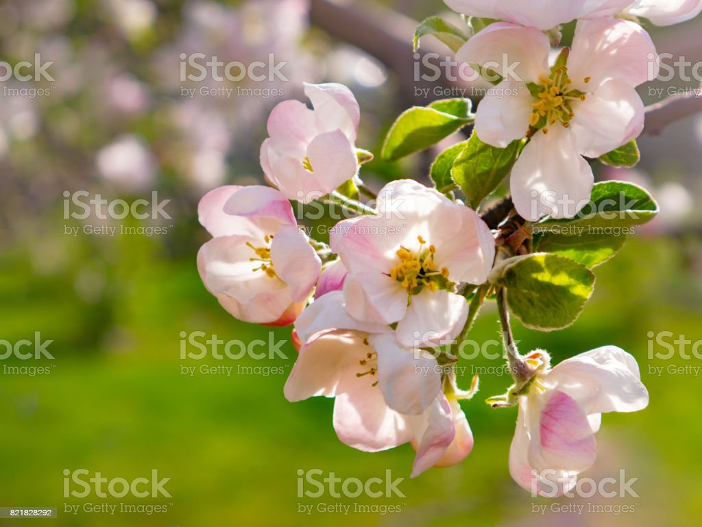 Blossoming apple-tree in garden close up stock photo