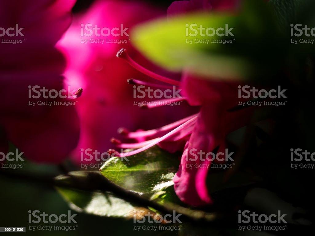 盛開的杜鵑花花, 用嬌嫩的紅紫色灌木。 - 免版稅可愛圖庫照片